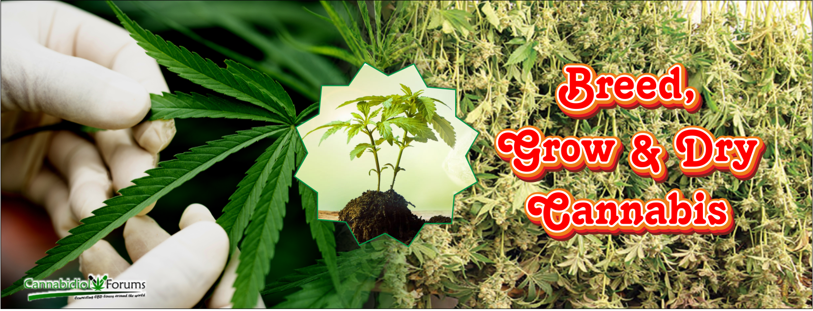 [Image: how-to-breed-grow-and-dry-cannabis.png]